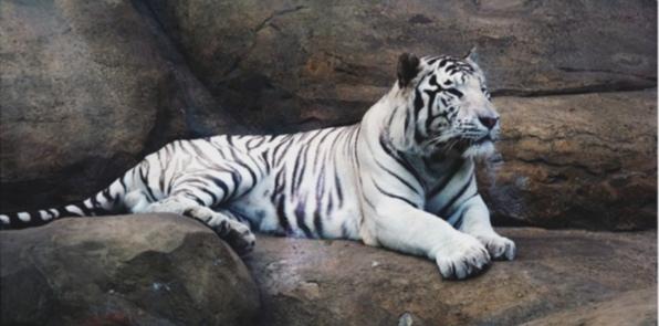 belij-tigr