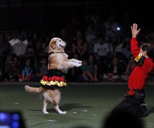 1-Золотистый ретривер танцует с хозяином