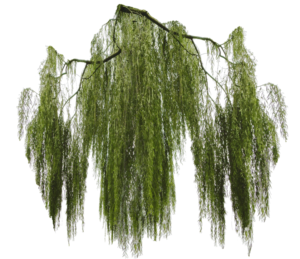 weeping_willow_branch_cut_out_by_simbores-d84dr9r