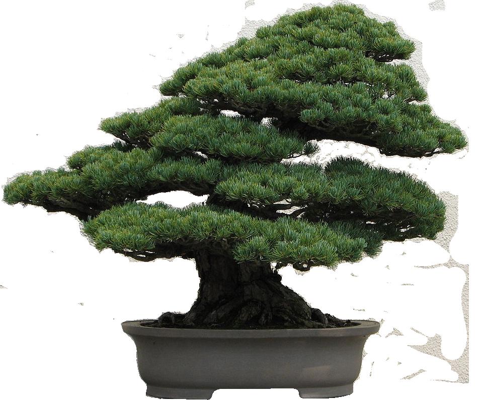Bonsai-WhitePine