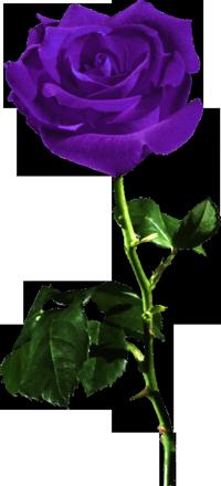 пнг роза1