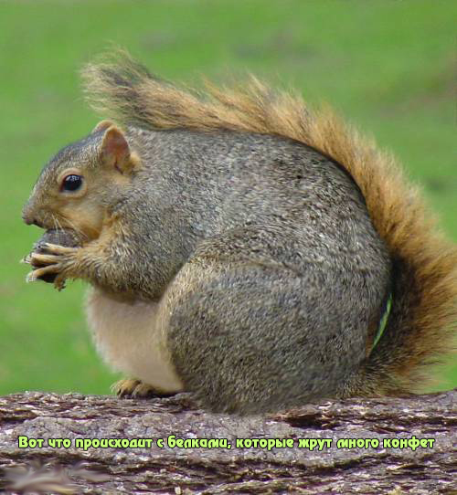 Fat-Squirrel-squirrels-855818_500_542_копия