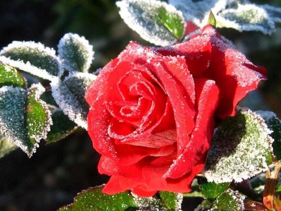 крас заснеж роза