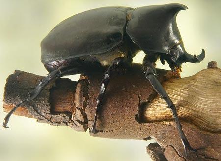 rhinocerosBeetle[2]