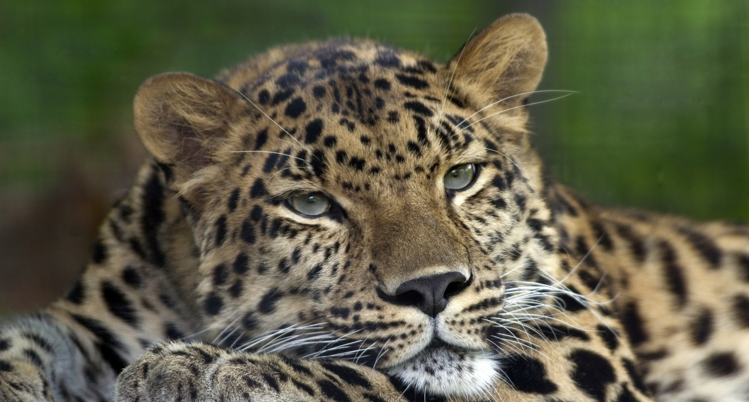 Amur_Leopard_Pittsburgh_Zoo