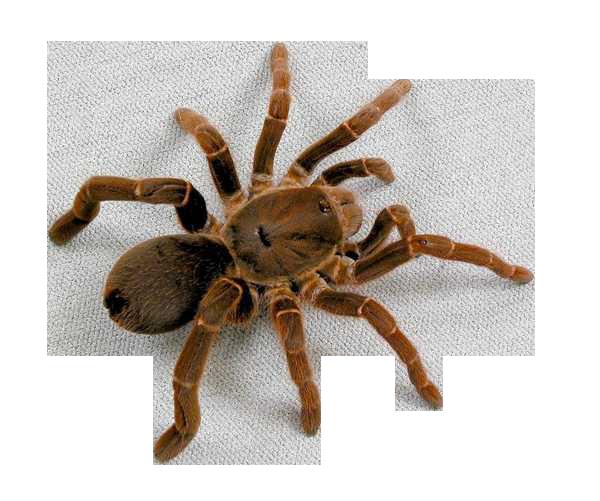 паук1