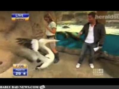 Пеликан атакует