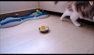 Знакомство кошки с лимоном