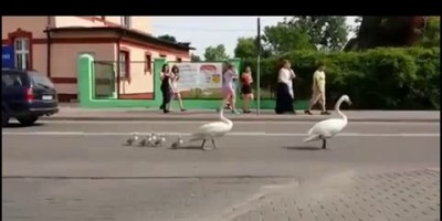 Лебединое семейство под защитой полиции