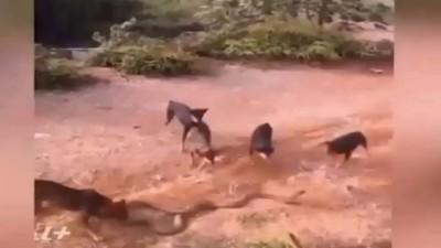 شاهد معركة بين كوبرا عملاقة وقطيع من الكلاب
