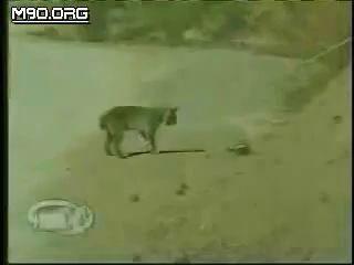 bobcat vs rattlesnake