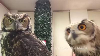 Реакция сов на камеру