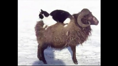 Cat on Sheep FUNNY