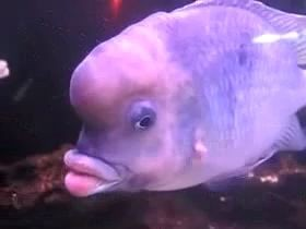 Рыба с губами Анжелины Джоли