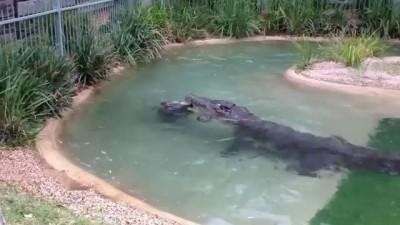 Австралийский крокодил Элвис