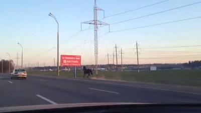 Конь прет по МКАД Минск