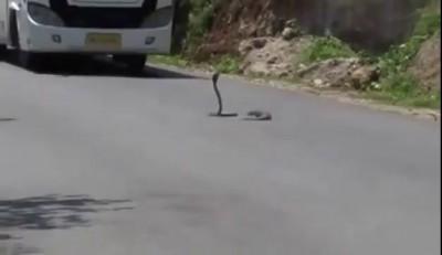 Мангуст vs кобра