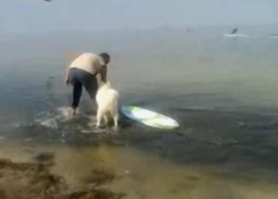 Собака-серфер