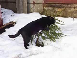 кот гнёт ель
