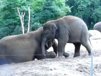 Слоненок катается на спине Мамы Слонихи
