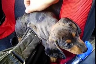 Любимый щенок таксы   Beloved dachshund puppy Sophie