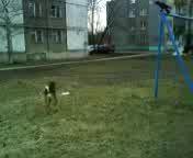 Собака и ворона