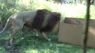 BIG CATS like boxes too!