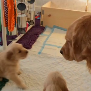 Щенок ретривера просит маму поиграть с ним