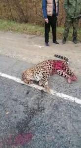Сбили леопарда