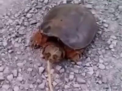 От черепахи такого точно не ожидал