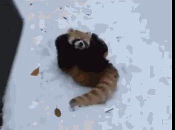 Красная панда атакует.