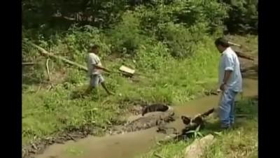 Мужик ловит аллигатора