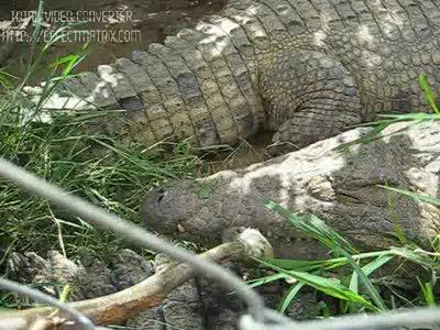 сытый крокодил