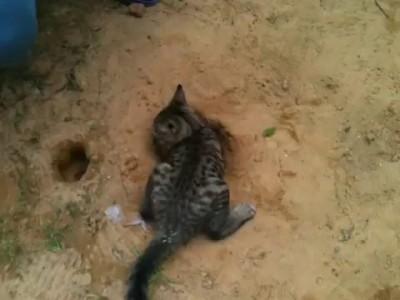 Sand cat - котенок песчанка