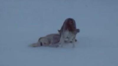 Пес охранял раненую подругу до приезда ветеринаров