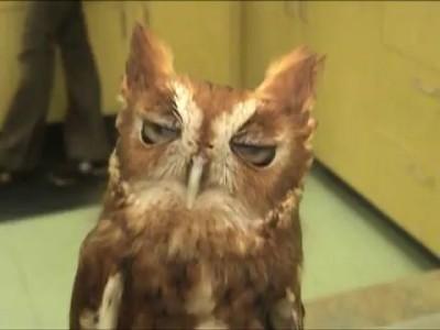 Screech Owl Chattering - Скрипящая сова