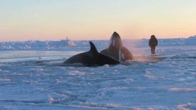 Killer Whales near Inukjuak, Quebec