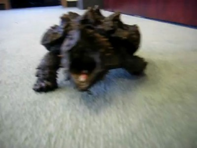 Angry Alligator Snapping Turtle charging camera man to attack!!!