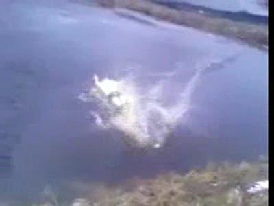 Морж купается