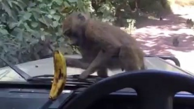 обезьяны и банан