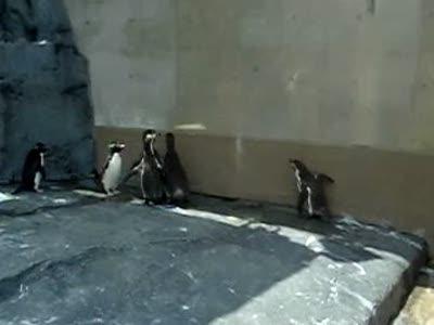 """Пингвины гоняются за """"зайцем"""""""