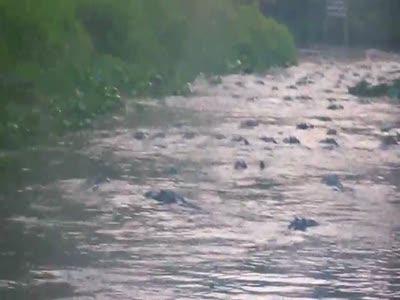 По реке с аллигаторами