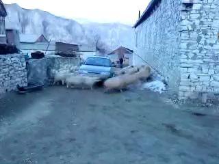 Cвадьба чабана