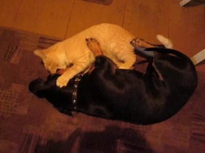 Жестокая битва кота и собаки
