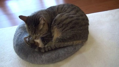 Хорошо зафиксированный кот в анестезии не нуждается