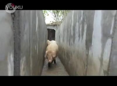 Свиньи прыгают!