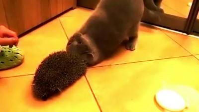 кошка нашла достойное применение ежу