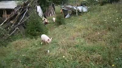 Свинюньки на прогулке.