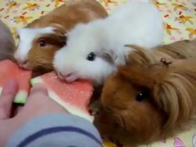Морские свинки едят арбуз