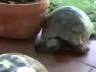 Черепахи спариваются, звуки - ЖУТЬ